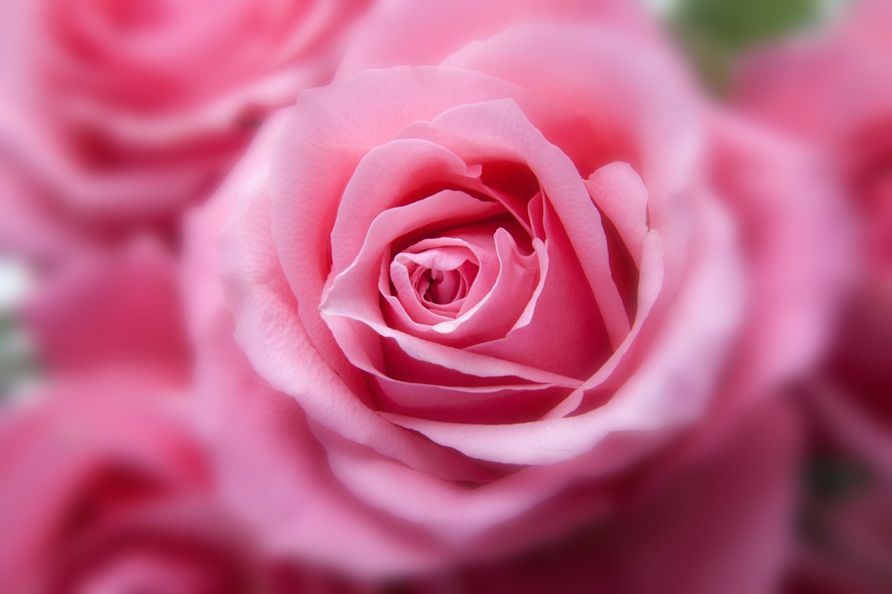 roses-194110_1280